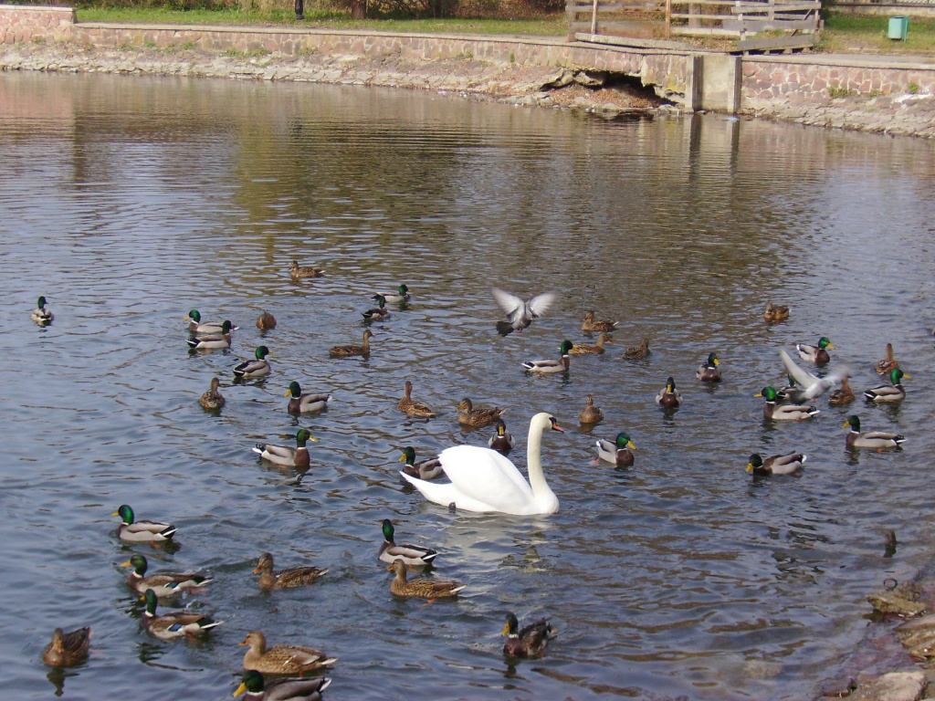 Swan   Lake  in   Ivano - Frankivsk   park